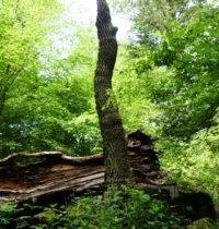 Reste der 1000-jährigen Eiche