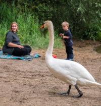 Schwanfamilie am Höhenfelder See